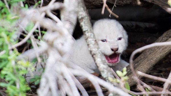 দক্ষিণ আফ্রিকায় বিরল প্রজাতির সাদা সিংহের জন্ম