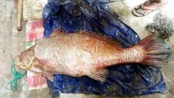 সেন্টমার্টিনে সাড়ে ৩৪ কেজি ওজনের একটি পোয়া মাছ, বিক্রি হয়েছে আট লাখ টাকায়