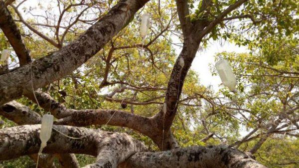 'স্যালাইন' দিয়ে বাঁচানো হচ্ছে ৭শ' বছরের গাছকে!