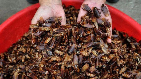 চীনে বছরে ৬০০ কোটি তেলাপোকা চাষ হচ্ছে